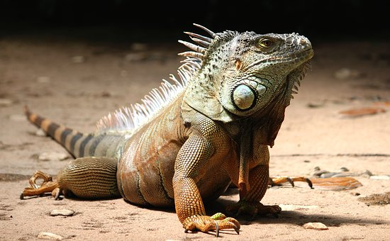 A male Iguana in sand looking to the right. Animal chat